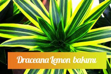 Draceana lemon saksı çiçeği bakımı nasıl yapılır?