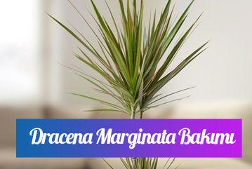Dracena marginata saksı çiçeği bakımı nasıl yapılır?