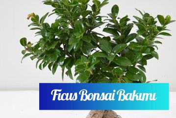 Ficus Bonsai bakımı nasıl yapılır?