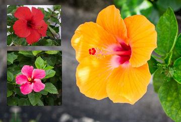 Hibiskus Çiçeği Mucizesi