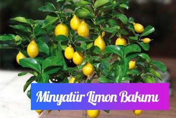 Minyatür limon ağacı bakımı nasıl yapılır?