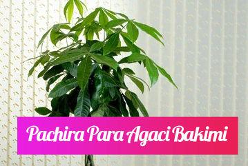 Pachira para ağacı bakımı nasıl yapılır?