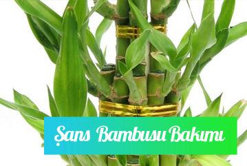 Şans bambusu bakımı nasıl yapılır?