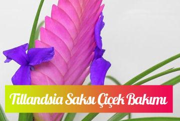 Tillandsia çiçeği bakımı nasıl yapılır?