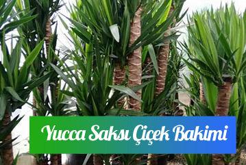 Yucca saksi çiçeği bakımı nasıl yapılır?