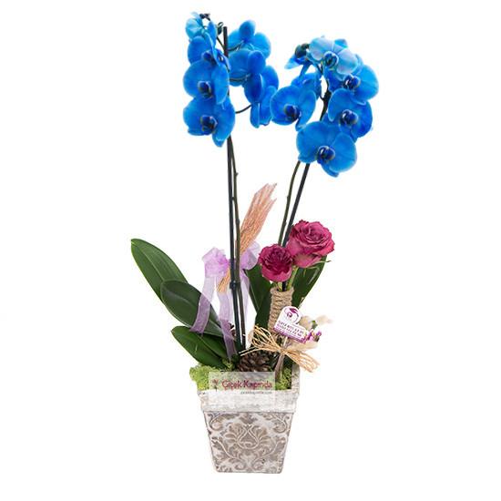 İkili mavi orkide