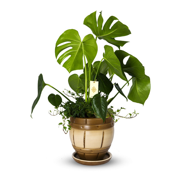 Devetabanı Monstera