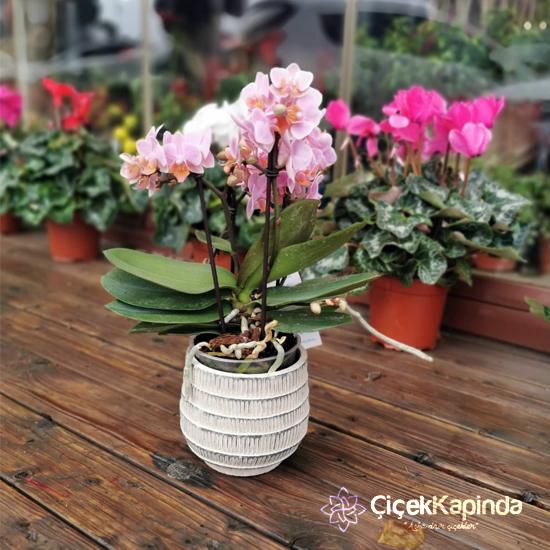 Pembe mini orkide Bahçeþehir