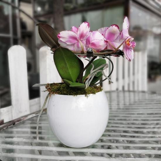 Pembe Orkideler