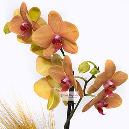 Ateþ Rengi Orkide