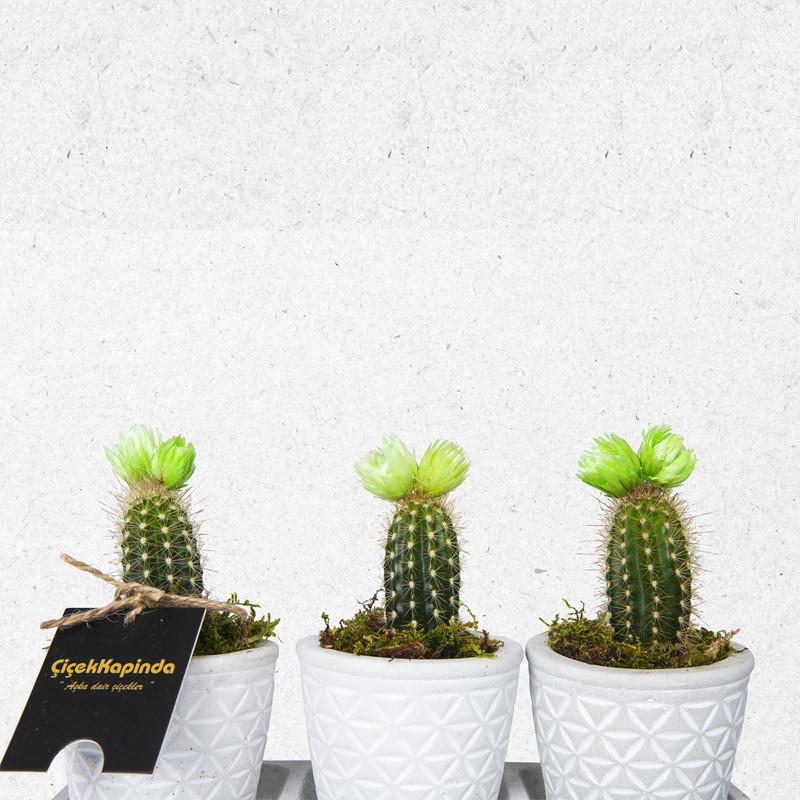 Dekoratif Saksıda 3lü Kaktüsler