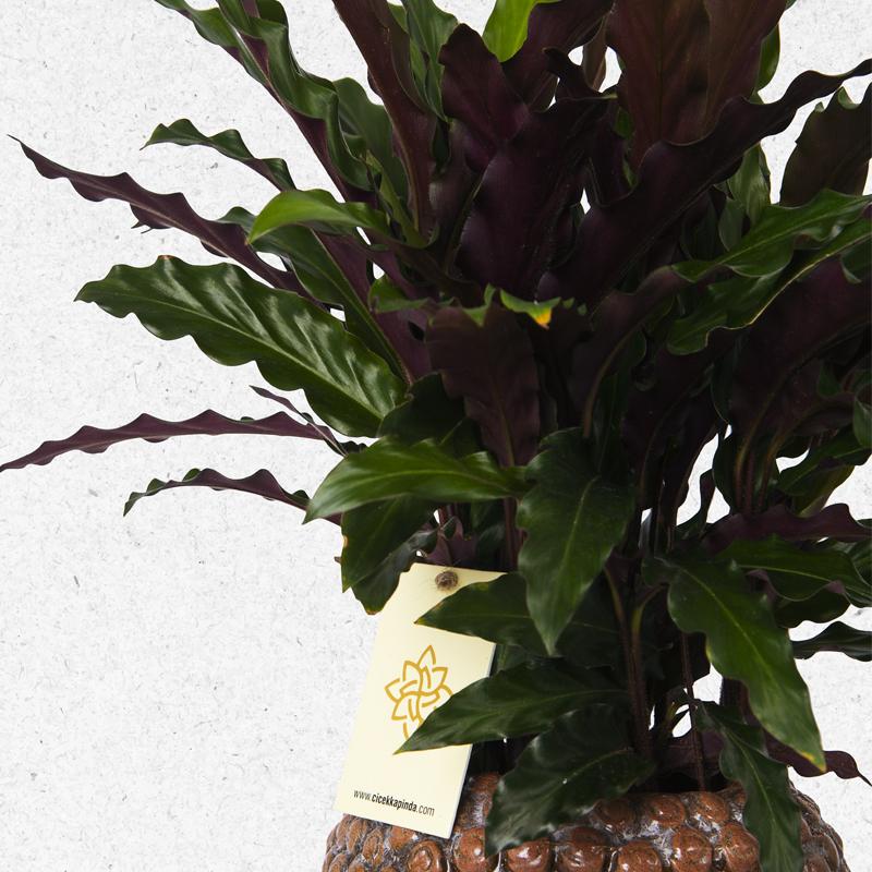 Galetya Rufibarba Saksı Çiçeği