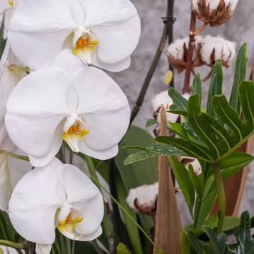Falenopsis Orkide