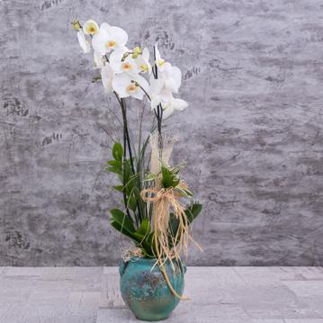 Ýki Dallý Beyaz Orkide