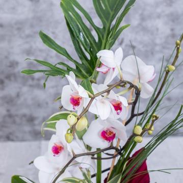 Meander (Sarmaşık) Orkide
