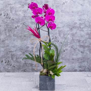 Ýki Dallý Mor Orkide