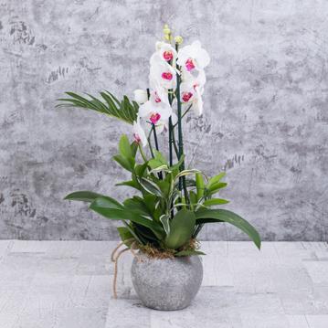 Uður Böceðim Orkide