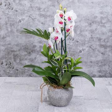 Uğur Böceğim Orkide