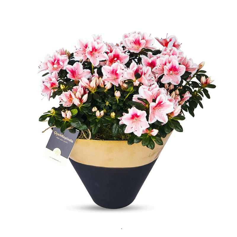 Dekoratif Saksıda Açelya Çiçeği
