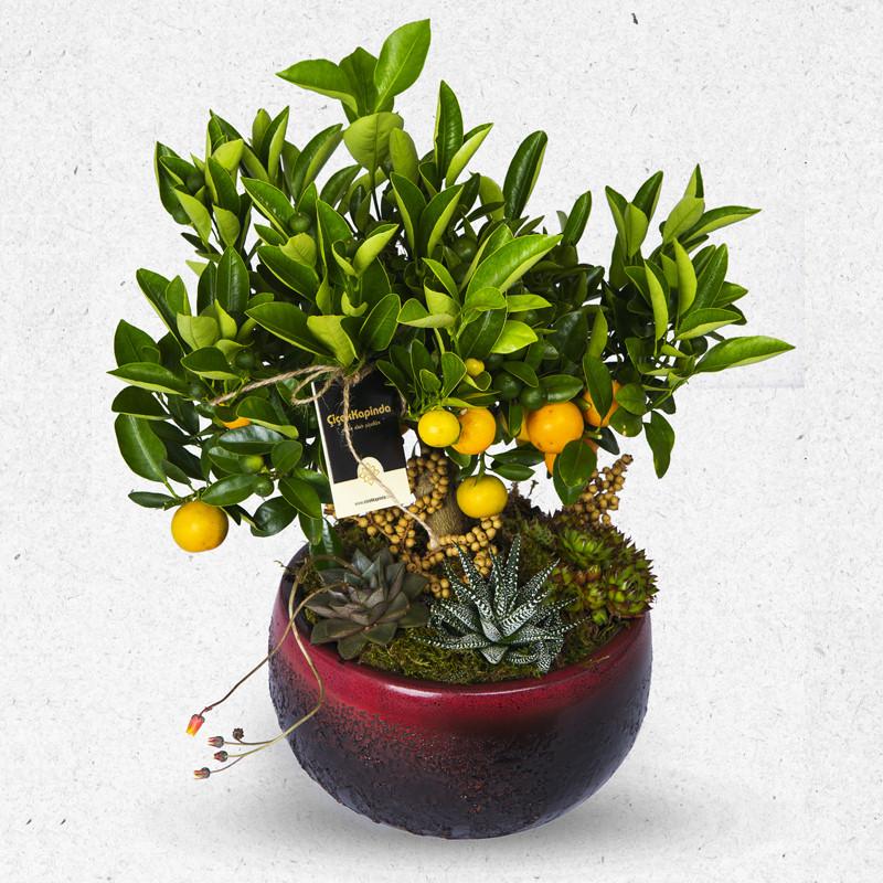 Özel Saksıda Minyatür Mandalina Ağacı