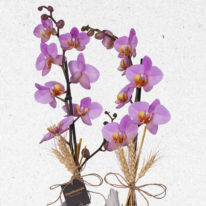 Pembe Phalaenopsis Orkide