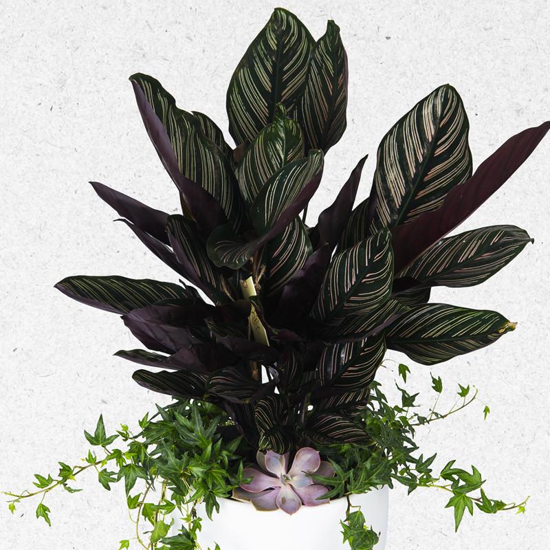 Kaletya Çiçekçi - Calathea