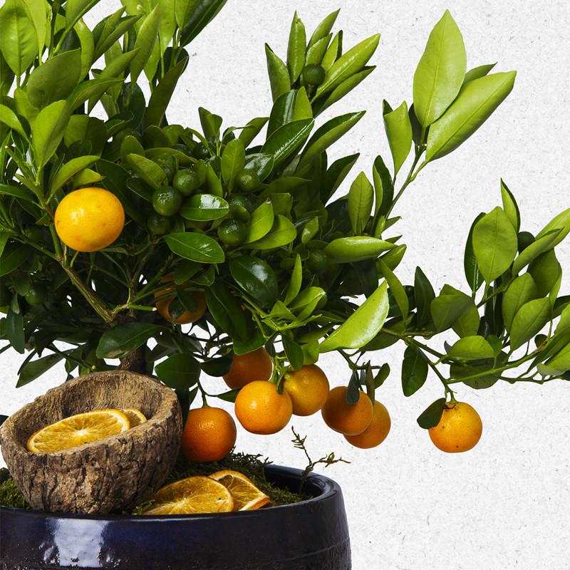 Seramik saksıda mandalina bonsai